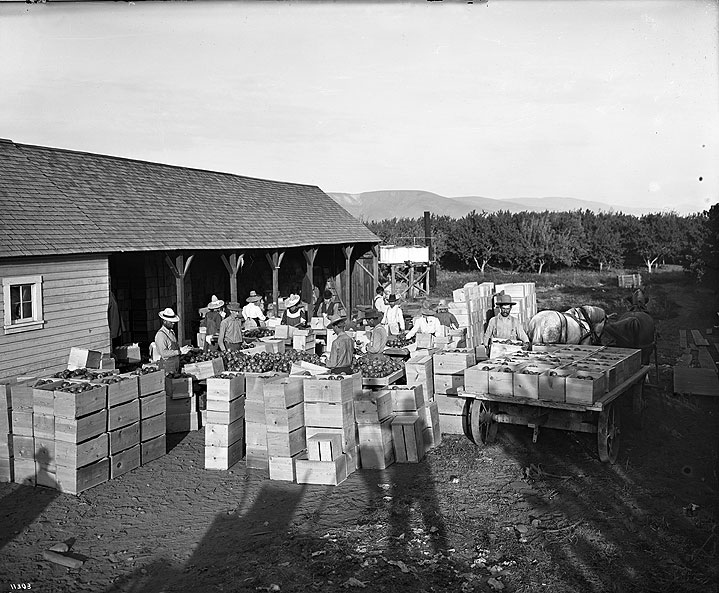 Packing Apples at Mr. Van Brant's Place, Yakima County