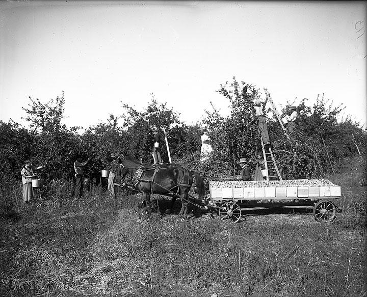 Picking Apples at Mrs. Victor Dorris' Orchard, Yakima Area