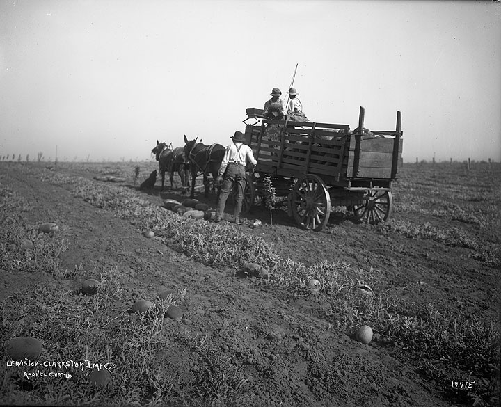 [Gathering watermelons from field] Lewiston-Clarkston Imp. Co.