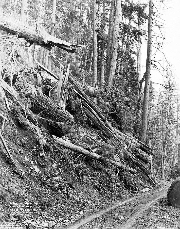 Windstorm, January 29, 1921, Clallam County, WA / Hemlock, Spruce and Fir on Slopes near Beaver Lake