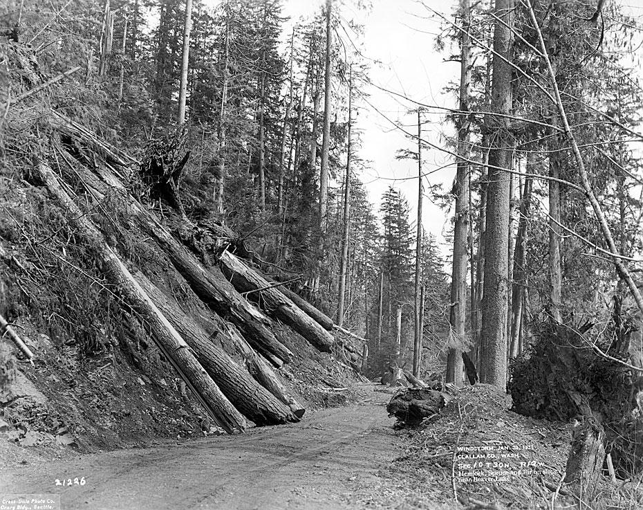 Windstorm, January 29, 1921, Clallam County, WA / Hemlock, Spruce and Fir on Slope near Beaver Lake