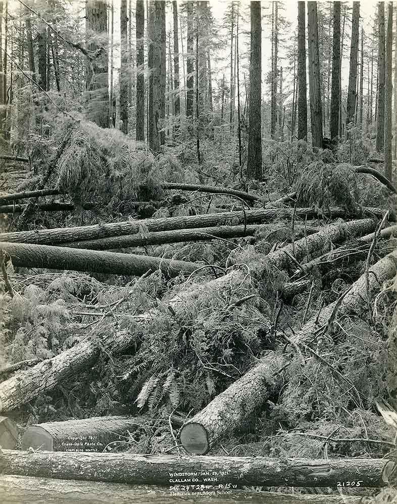 Windstorm, January 29, 1921, Clallam County, WA / Hemlock Near Mora School