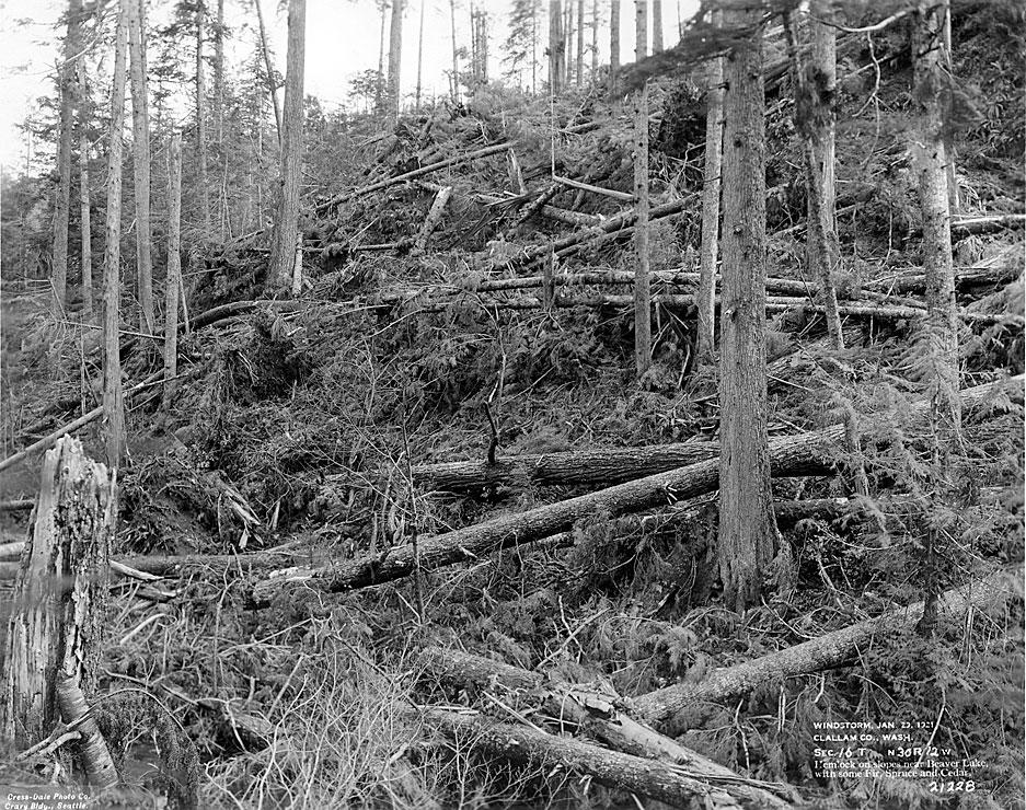 Windstorm, January 29, 1921, Clallam County, WA / Hemlock on slopes near Beaver Lake, with some Fir, Spruce and Cedar