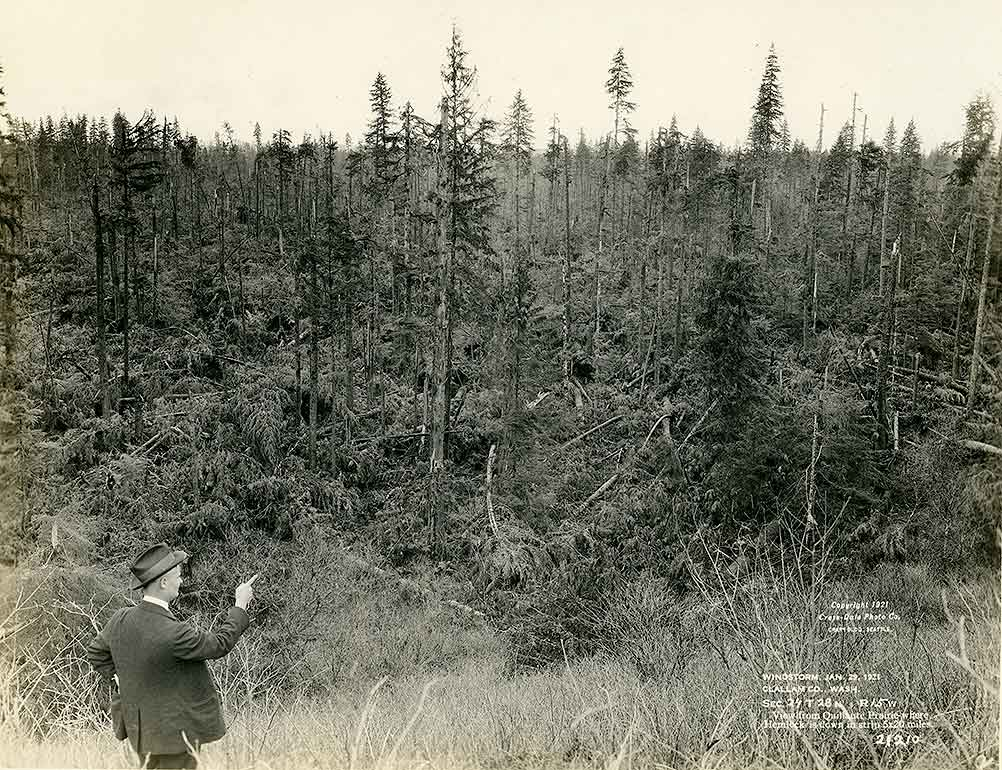 Windstorm, January 29, 1921, Clallam County, WA / View from Quillaute (sic) Prairie where Hemlock is down in strip 5x20 miles.