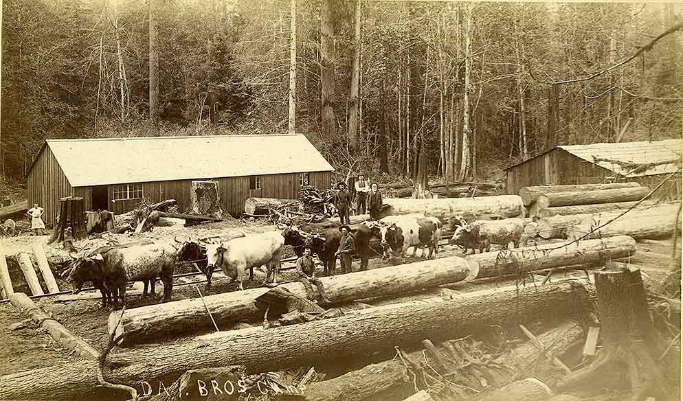 Ox teams bringing logs into sawmill
