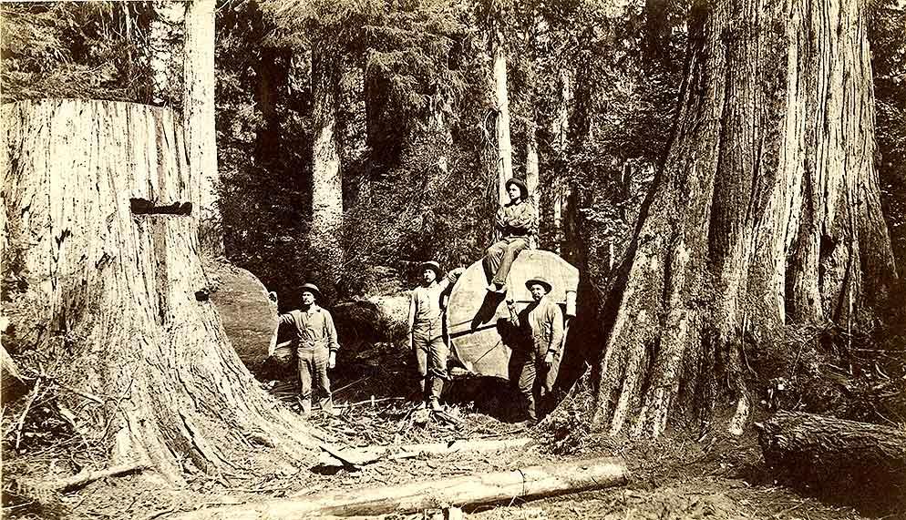 Falling large cedars