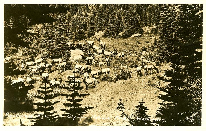 Roosevelt Elk - Olympic National Park - Washington