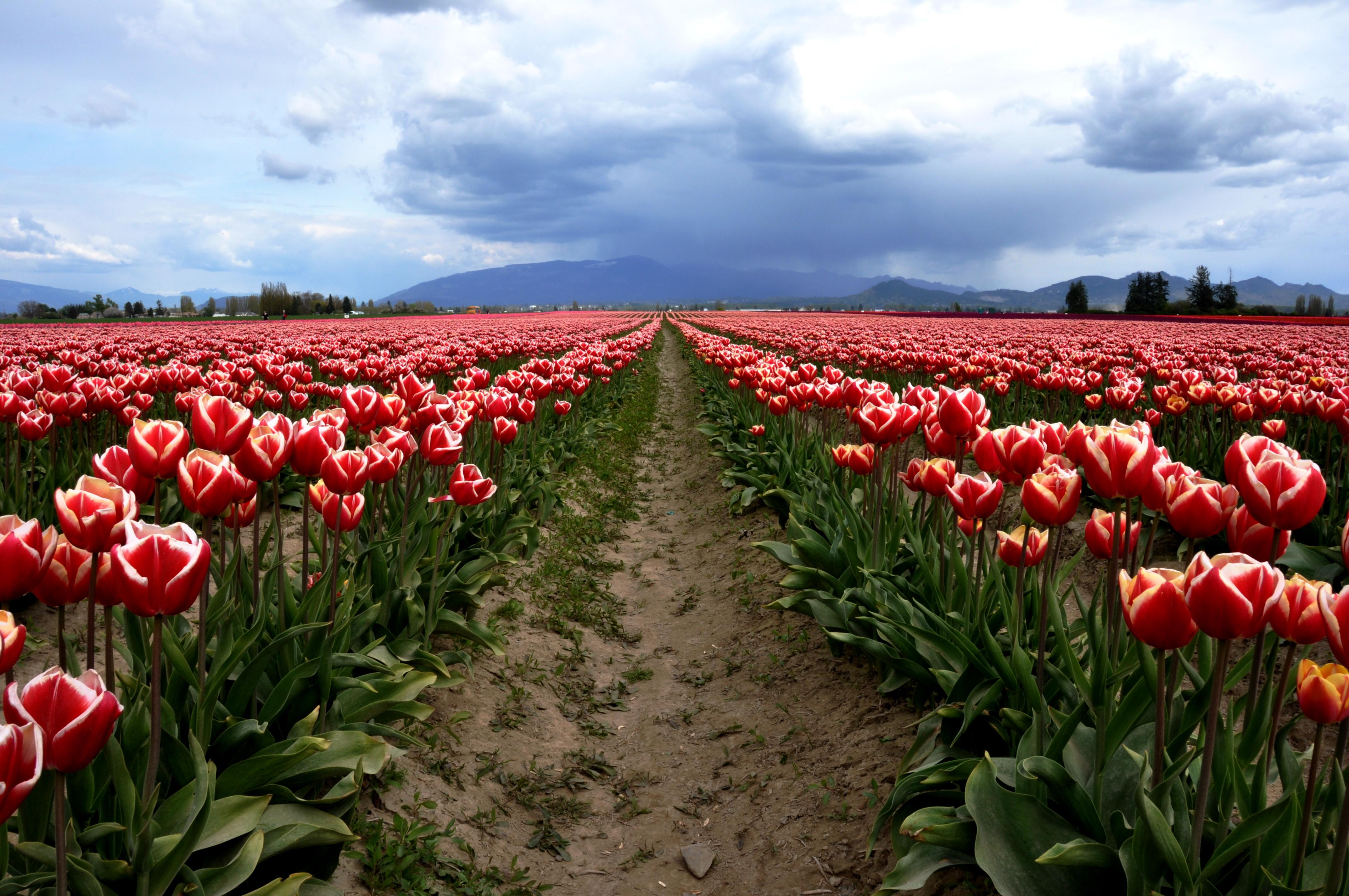 Tulip field, Skagit Valley