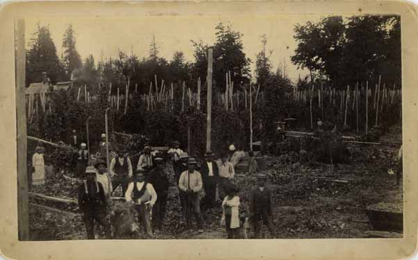 [hop field scene in Puyallup Valley, W.T.]