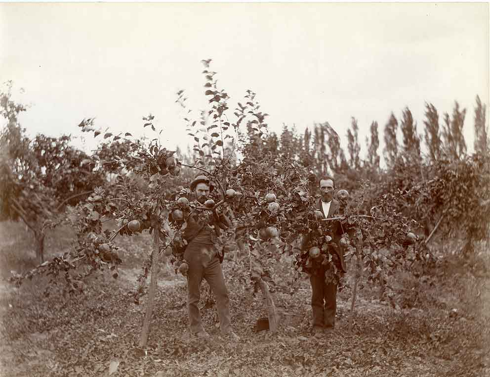 A 3 year old apple tree in Millers Orchard in 1899.