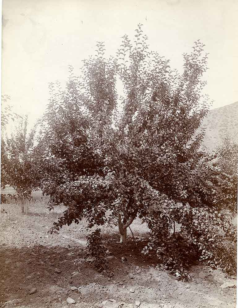 Apple Tree, Wenatchee