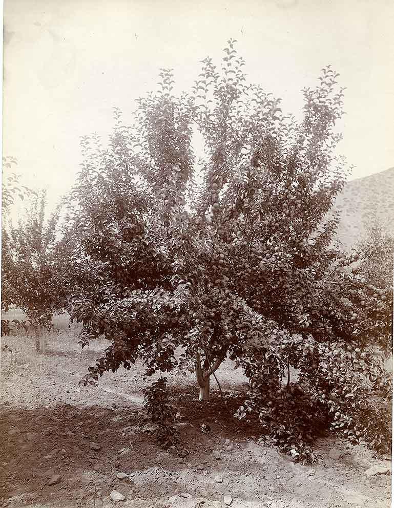 Apple Tree, Wenatchee