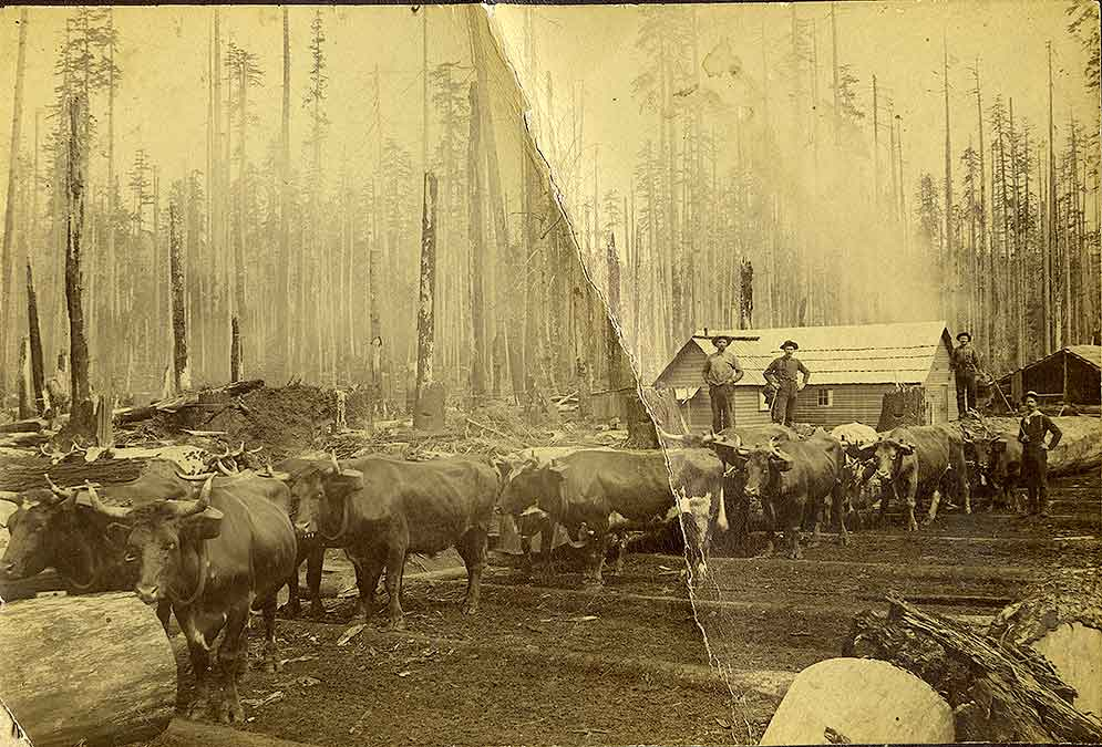 Logging with team of oxen