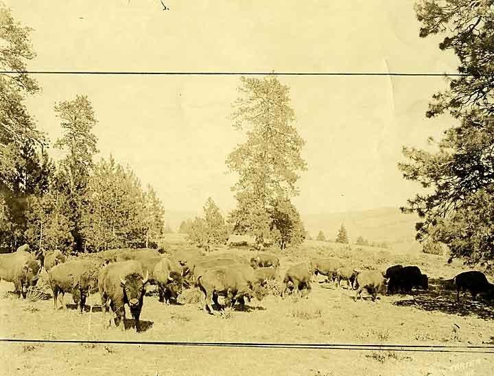 Gibson Brothers herd of Buffalo, Yakima, Washington