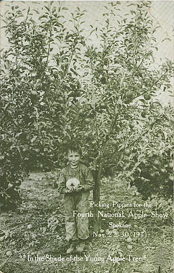 Picking Pippins for the Fourth National Apple Show, Spokane, Nov. 23-30. 1911