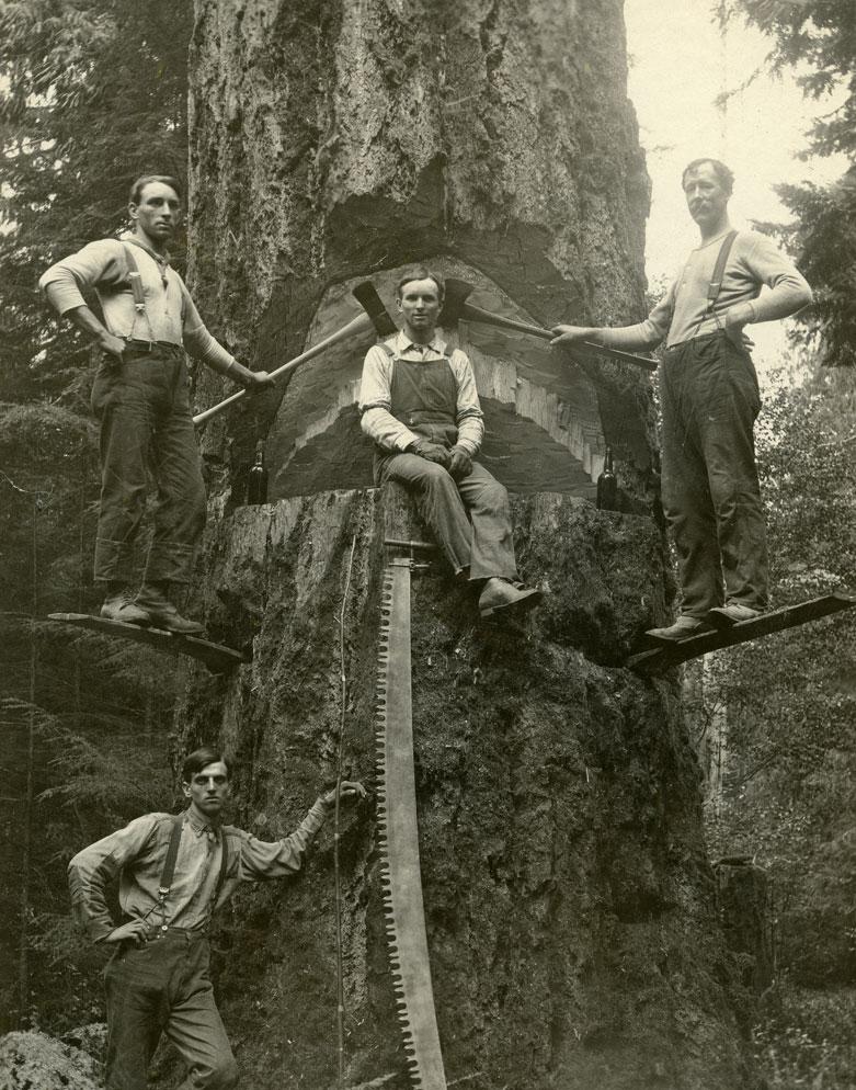 [Douglas fir tree  with loggers]